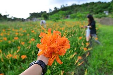 クワンソウ畑(朝の花摘み)